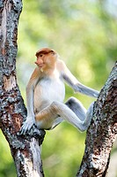 Juvenile male proboscis monkey  These leaf eating monkeys are endemic to Borneo