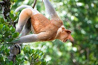 Dominant male proboscis monkey has a pendulous nose that covers the mouth, said to be sexually attractive to females possibly because it enhances voca...