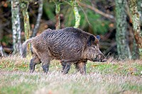 France, Haute Saone, Private park, Wild Boar Sus scrofa