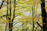 Beech, Fagus sylvatica woodland in Autumn, Wales