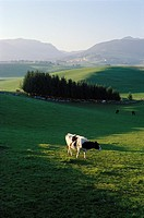 Asiago  Italy  Dairy cow in rolling green pastures