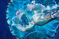 medusa luminosa, pelagia noctiluca