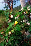 Cotton bush, Cayman Brac, Cayman Islands, British West Indies
