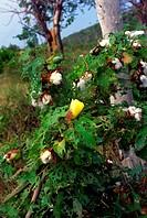 Cotton bush, Cayman Brac, Cayman Islands, British West Indies