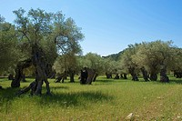 Balearic Islands, Majorca, Mallorca, Spain, Europe, outside, olive tree, olive trees, agriculture, agricultural, scenery, landscapes, nature, day, nob...