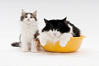 A mother cat in a washbowl and a kitten