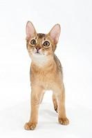 A gazing kitten