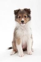 A sitting puppy