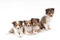 Siblings of Shetland Sheepdog