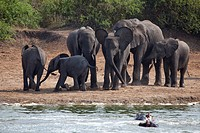 Africa, Uganda, East Africa, black continent, pearl of Africa, Great Rift, Queen Elisabeth, national park, nature, elephant, African elephant, mammal,...