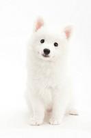 A sitting white puppy