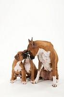 A mother dog and two puppies