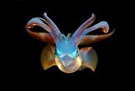 Bigfin reef squid Sepioteuthis lessoniana Red Sea, Egypt, Africa