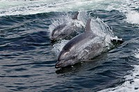 Bottlenose Dolphin, Tursiops truncatus, Walvis Bay, Namibia