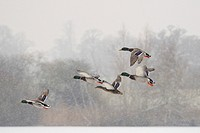 Four Mallard drakes Anas platyrhynchos and a duck flying over frozen lake in snowstorm, Wiltshire, England, United Kingdom, Europe