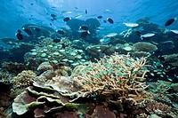 Green Chromis in Coral, Chromis viridis, Thaa Atoll, Maldives