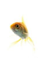 Veiltail Goldfish, Carassius sp.