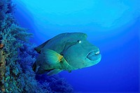 Napoleon Humpback Wrasse, Cheilinus undulatus, Brother Islands, Red Sea, Egypt