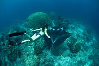 Free Diver and Manta, Manta alfredi, Misool, West Papua, Indonesia