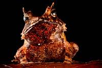 Eyelash frog, Ceratobatrachus guentheri, against a black background