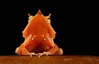 Solomons Eyelash Frog, Ceratobatrachus guentheri, on a leaf