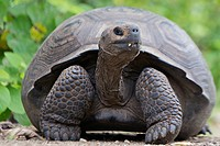 A young Galapagos tortoise scans the area.