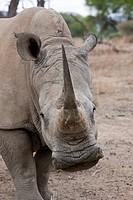 White Rhinoceros, Cerathotherium simum, Namibia