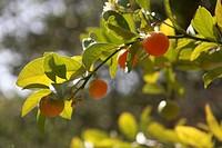 Tangerine tree.