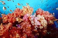Soft Corals and Anthias  Namena Island  Fiji
