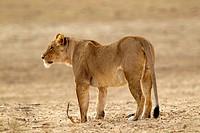 African lion Panthera leo - Female, Kgalagadi Transfrontier Park, Kalahari desert, South Africa.