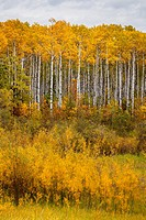 Fall foliage color and a birch forest in rural northern Manitoba, Canada