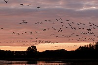 Flock of birds flies up at sunrise