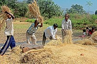 Harvesting paddy,Paddy Processing after Taken from Field, Threshing and winnowing  Maharashtra, India