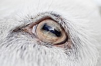Eye of a goat