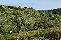 ZON-3860517 Olive tree and red clover and Tuscanien Villa Riparbella Tuscany Italy