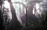 Antarctic beeches in misty temperate rainforest, Lamington National Park, Queensland, Australia