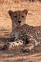 Gepard Acinonyx jubatus