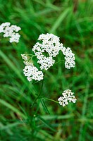 Achillea millefolium _ yarrow common herb