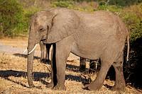 Elefant im Chobe Nationalpark, Botswana, Loxodonta africana, elephant at Chobe National Park, Botsuana