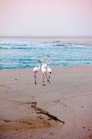 UIG-935-13-GR100468 Pink Flamingos at Cape Cross beach in Namibia