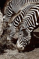 Three Zebras eating grass. the Picture is Black and white