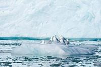Glaucous gulls, Larus hyperboreus, Lilliehoek Glacier, Spitsbergen, Svalbard, Arctic