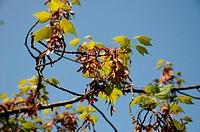 Austrieb und reifende Flügelfrüchte