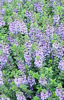 ANGELONIA 'SERENA BLUE'