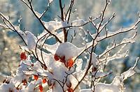 Schnee im Buchenbaum, Snow in Beech tree,