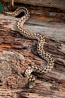 Checkered Garter Snake Thamnophis marcianus Lowlands of SW United States of America