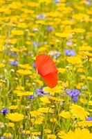 CULTIVATED WILDFLOWER MEADOW WITH CORN MARIGOLD CORNFLOWER AND SINGLE POPPY