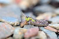 Mottled Grasshopper, Myrmeleotettix maculatus, Cornwall, UK
