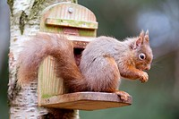 Red Squirrel, Sciurus vulgaris, at peanut feeder, Scotland, UK