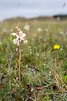 Round Leaved Wintergreen, Pyrola rotundifolia, Gower, Wales, UK